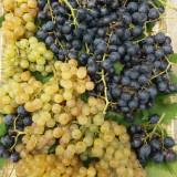 Struguri pentru vin, soiuri: Tamaioasa Romaneasca, Feteasca si Ottonel