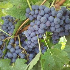 Vand struguri de masa/ vin - Recolta 2018!