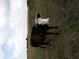 Vaci de lapte si vițel