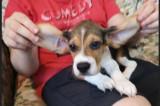 Pui Beagle cu Pedigree - varsta 2 luni
