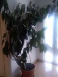 Ficus, înalt de peste 2.5 metri - DOAR PREDARE PERSONALA!
