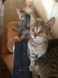 Donez puiuti de pisica