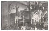 Viena 1925 - zebre, muzeu