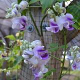 Vigna caracalla - Fasolea melc - 3 seminte pt semanat