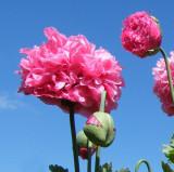 Papaver paeoniflorum -Oase - Mac roz plin ornamental-  5 seminte pentru semanat