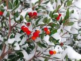 Arbore de fragute (fructe delicioase ) arbutus unedo - 5 seminte pt semanat