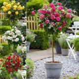 Trandafiri parfumatii pomisor-10+5 gratis