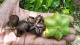 Plukenetia volubilis - aluna de munte exotica - 2 seminte pt semanat