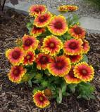 Gaillardia aristata - floarea patura - 4 seminte pentru semanat