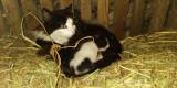 Donez puii de pisică
