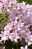 CAMPANULA LACTIFLORA / pt flori de primavara pana toamna  20 seminte pt semanat