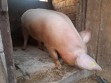 Vand porc 150-160kg