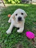 Pui labrador Retriever mascul