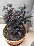Ardei iute BLACK PEARL - 5 seminte pentru semanat