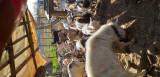 Capre de vanzare