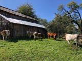 Vând 6 vaci