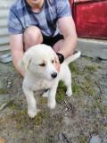 Metis labrador, un baiat si o fata, Pedigree