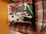 Caine Dalmatian