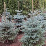 Molid argintiu, (Picea glauca), la ghiveci, Plant