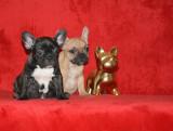 Canisa vand catei Bulldog Francez cu pedigree