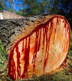 Sangele dragonului- DRACAENA DRACO - 3 seminte pt semanat