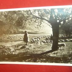 Ilustrata -Cioban cu turma de oi pe Valea Oltului , interbelica