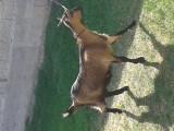 Ieduta si tapusor alpin francez de vinzare