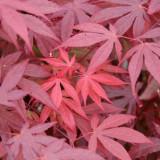 Seminte Artar Japonez Acer palmatum Orange Dream decorativ arbore ornamental, Plant