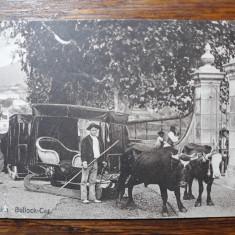 MADEIRA - SPANIA - CAR CU BOI - INCEPUT DE 1900