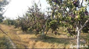 Vand prune pentru rachiu
