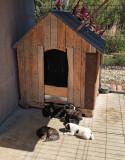 Pui de amstaff, Royal Canin