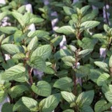 Menta chocolate (Mentha piperita Chocolate)