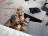 8 Pui de câine talie mare spre adopție