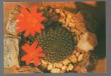 CPIB 17399 CARTE POSTALA - IASI. GRADINA BOTANICA. CACTUS INFLORIT, Necirculata, Fotografie