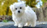 Bichon malteze, Royal Canin