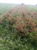 Gutui japonez pentru gard viu, Plant
