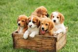 Caine (mama beagle)