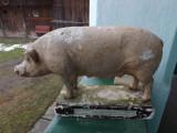 Material didactic.Porcul,rasa marele alb.