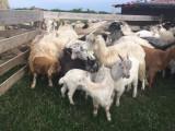 Vand capre