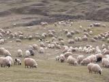 Vând 350 de oi