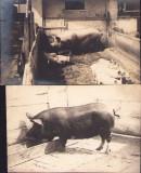 B2651 Lot 2 poze cu porci