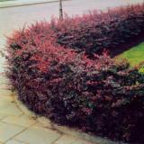 Dracila Japoneza (Berberis Thunbergii Atropurpurea), radacina nuda, Plant
