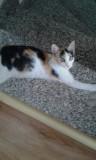 pui pisică calico
