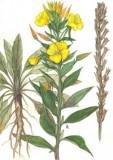 LUMINITA NOPTII - oenothera biennis - MEDICINALA - 15 seminte pt semanat