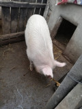Porc crescut bio, aproximativ 150 kg-11 lei kg