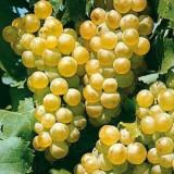 Struguri de vin calitate superioara