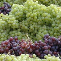 Struguri de vin si de masa