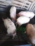 Vând porci și soldani