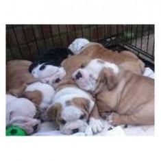 Păpuși adorabili Bulldog englezesc pentru Crăciun