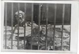 D716 Leu Viena Parcul Zoologic iunie 1945 militar roman front